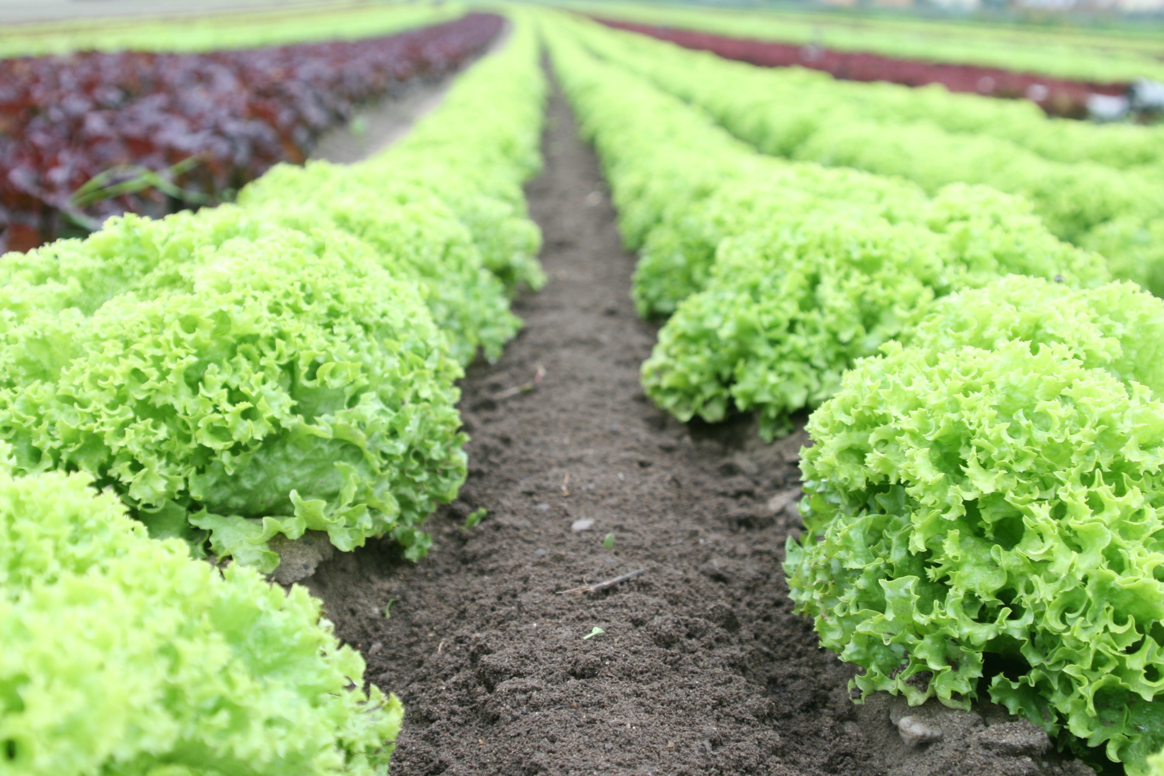 lettuce-monoculture-organic_0